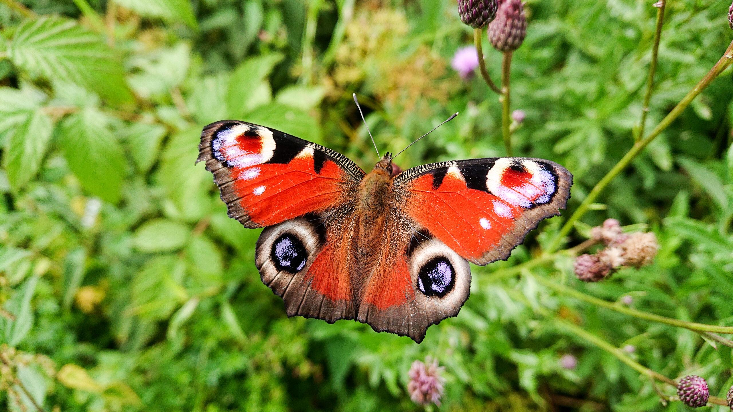 sommarens vackraste fjäril